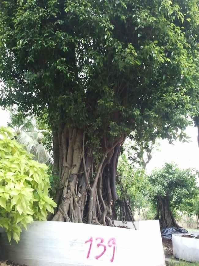 Công đức cây sanh